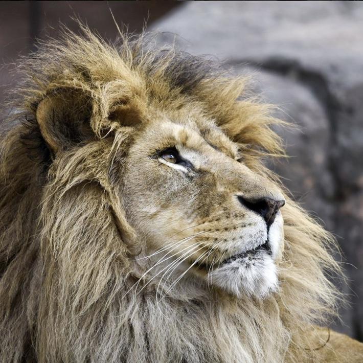 TENNOJI ZOO LION